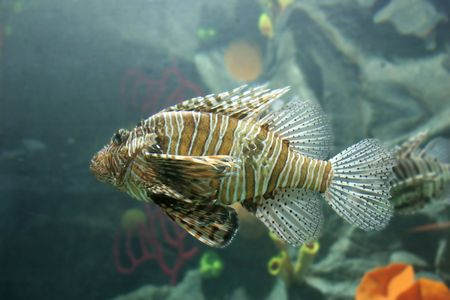 oceanic: Lionfish (tropical oceanic fish) Stock Photo