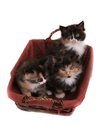 three kitten in basket  isolated on white