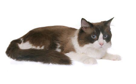whitern: regdoll cat isolated on whitern