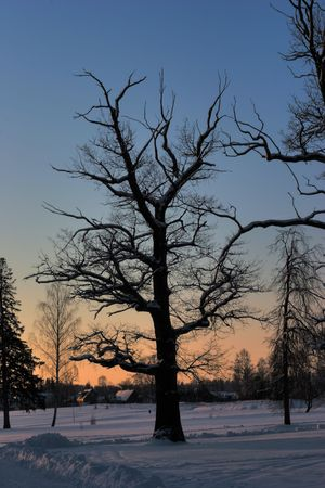 winter oak ower sun rise photo