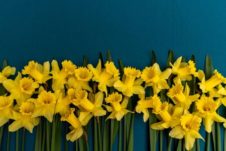 large bouquet of yellow daffodils on an indigo background. Copy space. Can be used as a card, background for screensavers, greetings