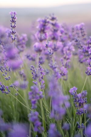 Lavender field on a sunny day, lavender bushes in rows, purple mood