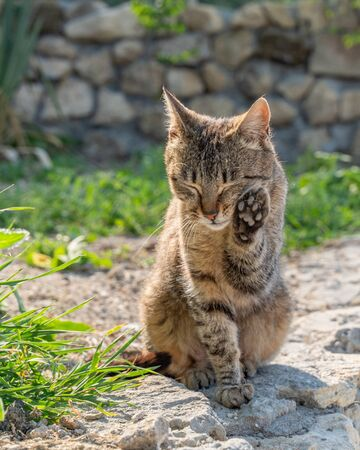 A stray cat is washing himself against the background of a stone fence, sitting on a lawn with green grass