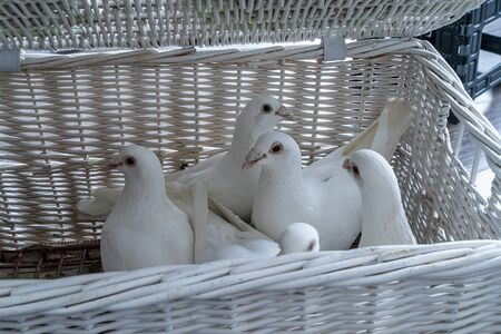 Five white carrier pigeons in a wicker white basket prepared at the wedding to launch the bride and groom