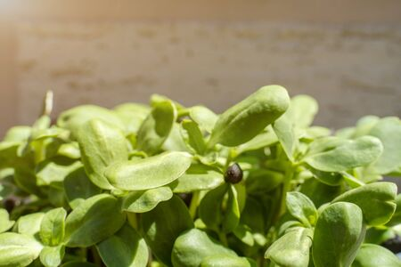 Vegan micro-shoots of sunflower greens. A growing concept of healthy eating. Sprouted sunflower seeds, microgreen, minimal design.