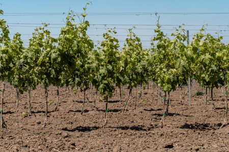 Young plantation of a well-groomed vineyard at the beginning of flowering. Rows of young vineyards on a Sunny spring day. Modern concept of wine-making, agriculture.