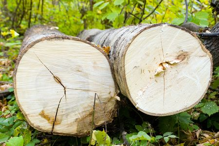 tree felling: Recently cut trees. A tree felling