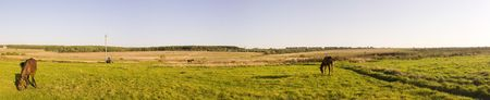 grazed: Panorama. Grazed horses. Agricultural landscape. Stock Photo