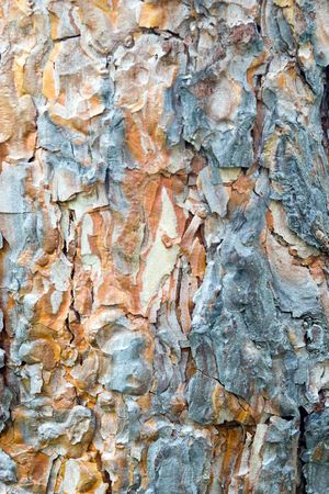 bark peeling from tree: Texture. A bark of a larch