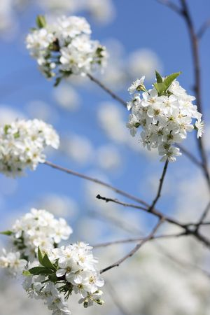anthesis: Blossoming branches of a cherry