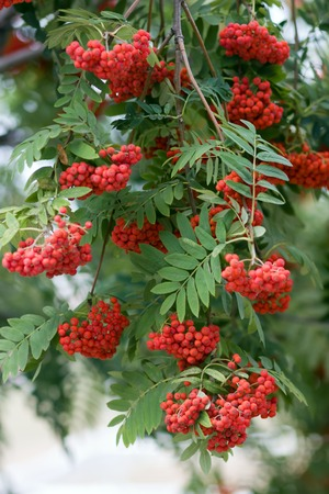 bunchy: Red berries of a rowan Stock Photo