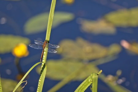 biotope: dragonfly with wings beschdigtem a rest