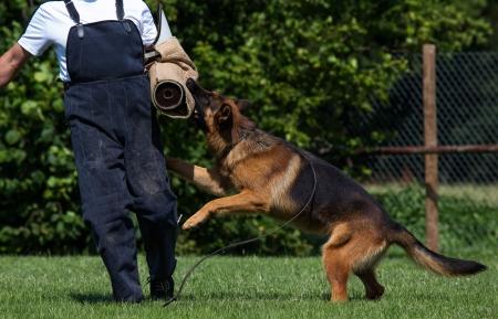 Shepherd on the training ground Stock fotó