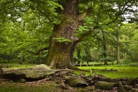 Monument einer alten Eiche bei Ivenack Standard-Bild - 16926367