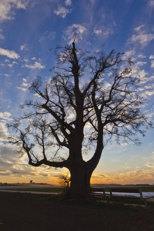 limetree: shilouette a linden at sunset - shilouett of a lime-tree at sunset Stock Photo