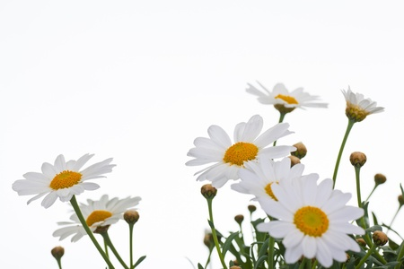 Daisies against a white background - flowers on white background Stock Photo