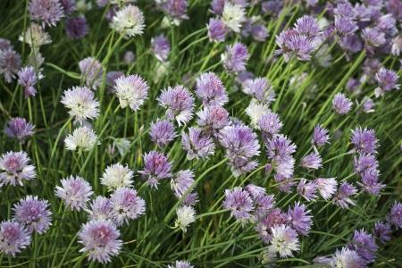 alliaceae: Cut leeks - Alliaceae - Allium schoenoprasum Stock Photo
