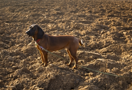 Bavarian Mountain Hound is with tow line on the plowed field Stock Photo - 17511625