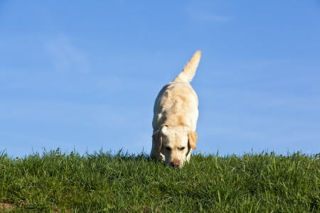 labrador sniffing the grass - labrador dog sniffing on the meadow Stock Photo