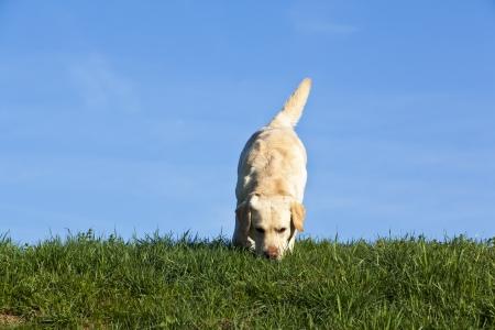 labrador szippantás a fűben - labrador kutya szimatolva a réten