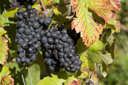 biological vineyard: grapes just before harvest in autumn - harvesting grapes in autum bevore Stock Photo