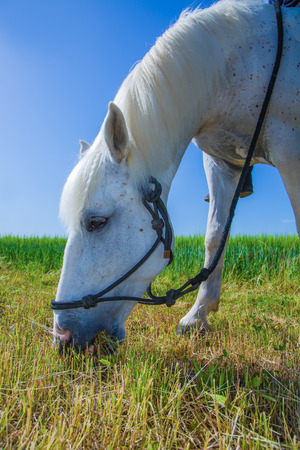 closeup of a white horse on meadow photo