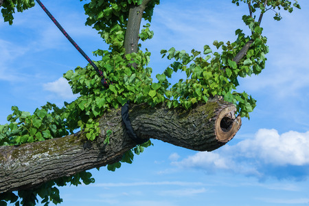 supported: branches supported by ropes