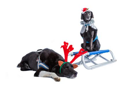 perros vestidos: dos perros vestidos para x-mas, junto con un trineo de nieve