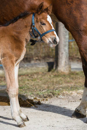 filly: young filly togehter with its mother