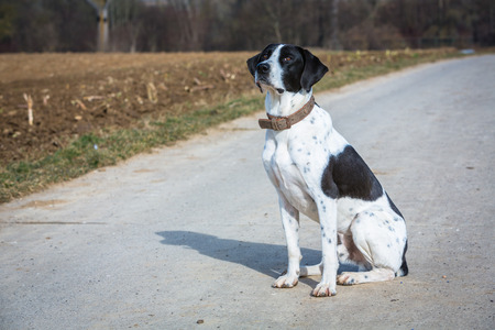 waits: hunting dog sits on a path and waits for command