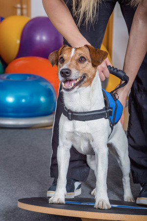 jack russel: Jack Russel terrier getting physical treatment