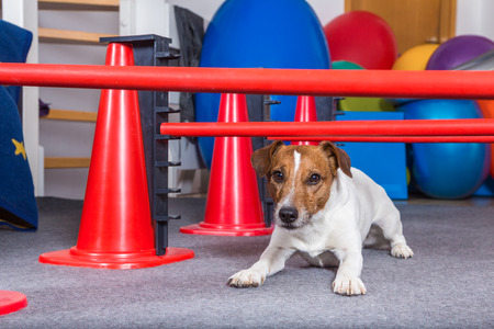 physical test: Jack Russel terrier crawling under hurdles Stock Photo