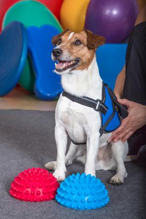 Jack Russel Terrier Nahaufnahme Standard-Bild - 41682089