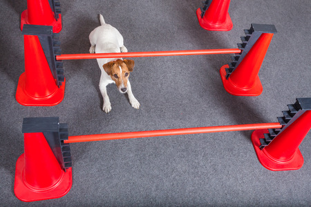 russel: Jack Russel terrier crawling under hurdles Stock Photo