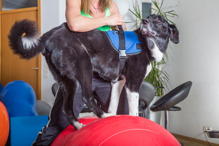 dog balancing on ball in therapy Stock fotó