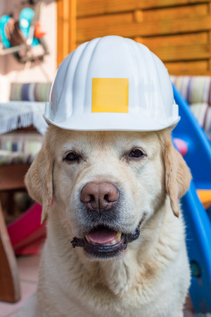 savety: white labrador looks funny with savety helmet on