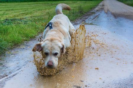 dog running: carreras de labrador blanco en toda velocidad throug un charco