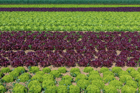 feld: salad field with rows of different types of salad plants