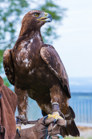 catchlight: eagle sits on the arm of a falconer