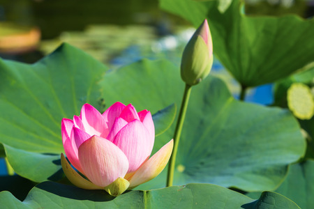 lotos: beautiful lotos flower in a pond
