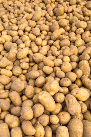 biologic: many fresh harvested potatoes on a heap