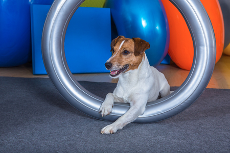 russel: jack russel terrier in dog therapy Stock Photo