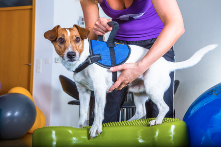 jack russel terrier in dog therapy Stockfoto