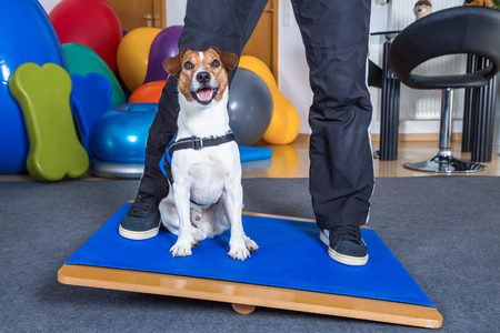 jack russel terrier in dog therapy Stock Photo