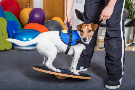 jack russel terrier in treatment Stock Photo