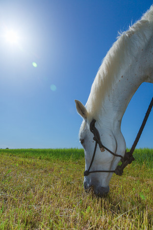 whitehorse: white horse grazing on a sunny day