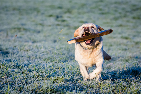 fetching: white labrador running and fetching a stick Stock Photo
