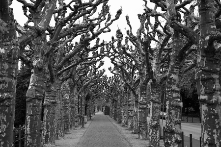 old plane: tree avenue with old plane trees in black and white