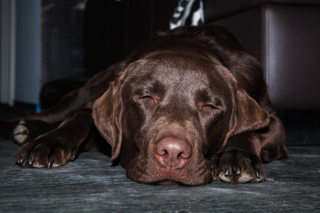 brown labrador: lazy and tired brown labrador sleeping on the floor
