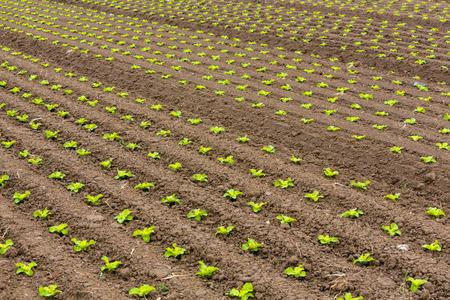 vitamines: salad sapplings on the field Stock Photo